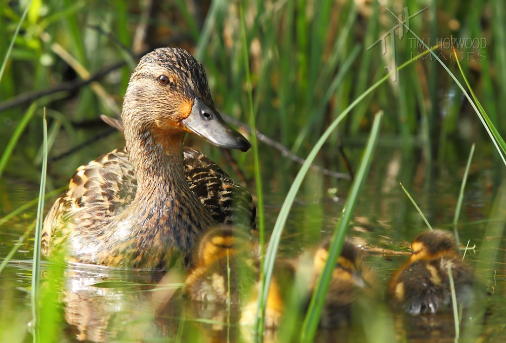 Blue-wingedTeal