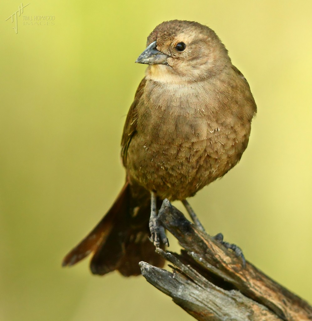 Brown-HeadedCowbird(female)