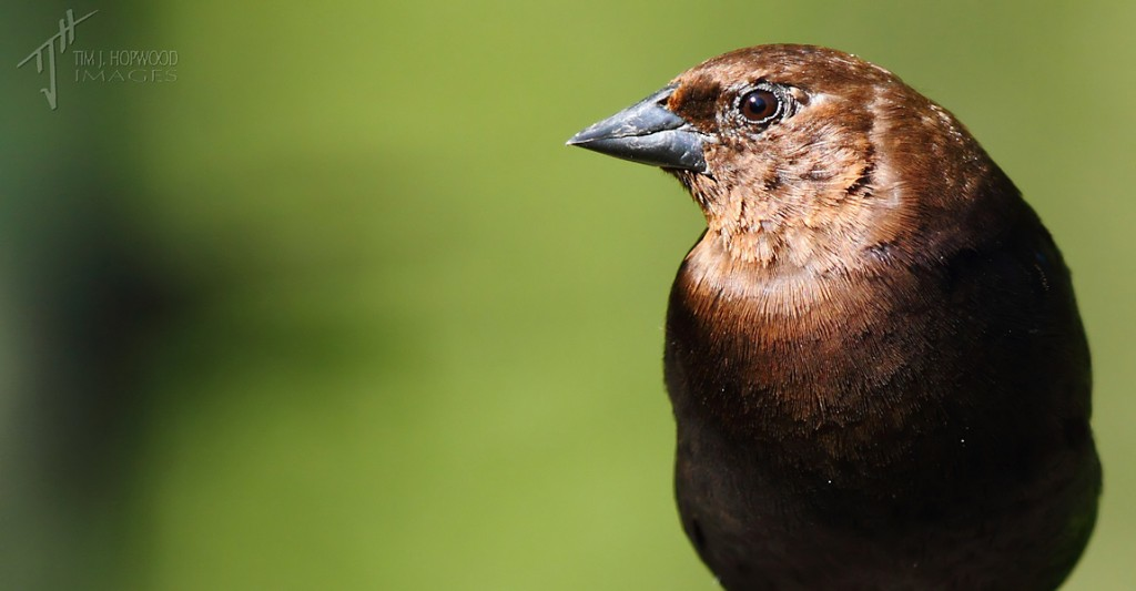 Brown-HeadedCowbird(male)