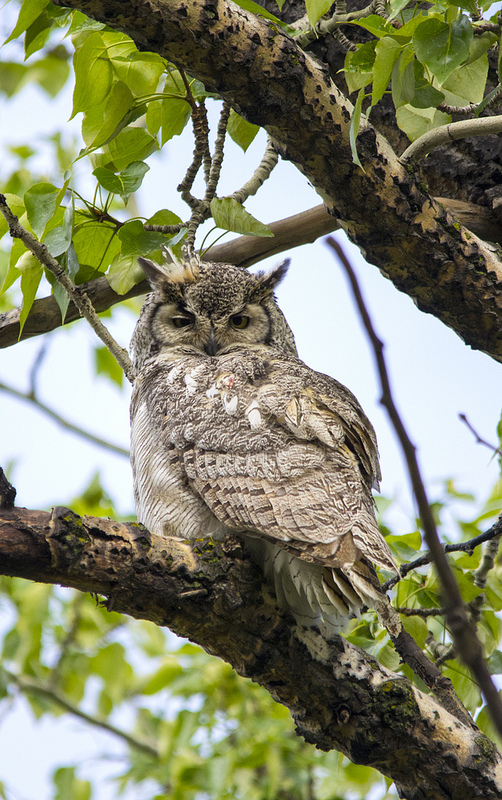 adult male Great Horned Owl