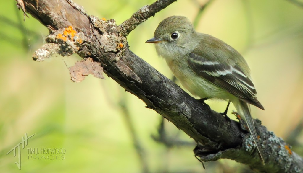 LeastFlycatcher1