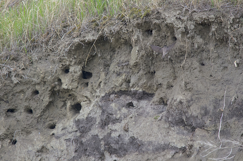 Bank Swallow nesting colony