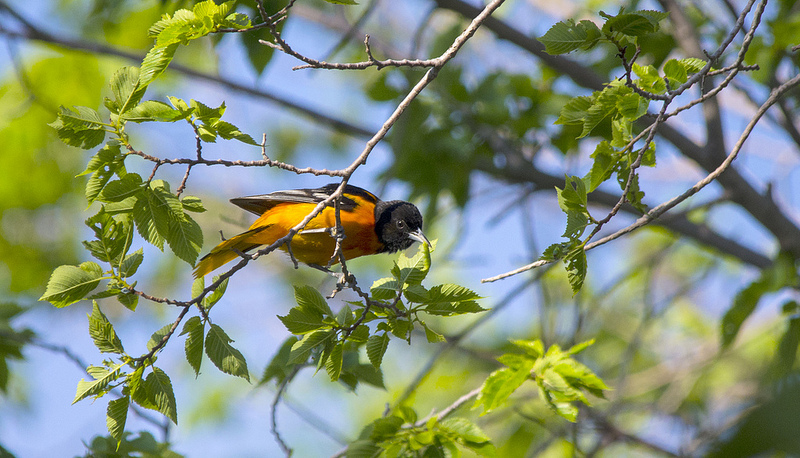 Baltimore Oriole catching some grub