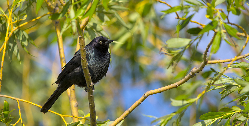 I'm very unused to seeing Brewer's Blackbirds in trees. Around Calgary they're most commonly seen on gravel roads near sloughs!