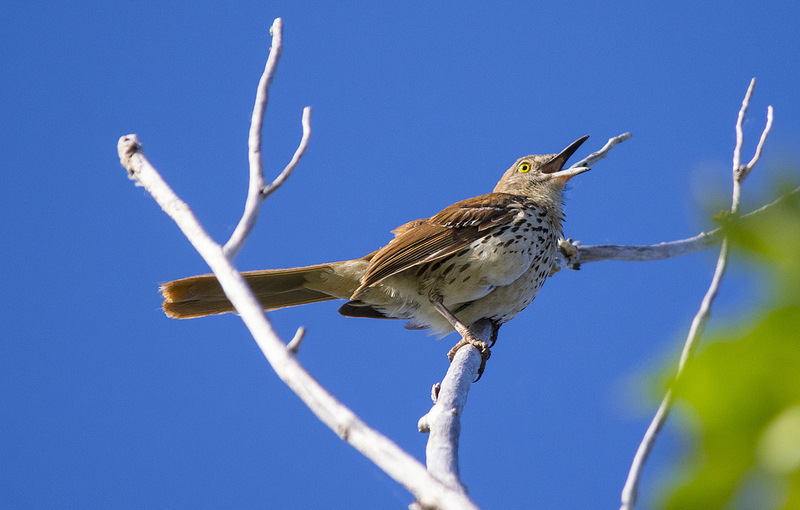 Brown Thrasher, lead vocals of the Dawn Chorus