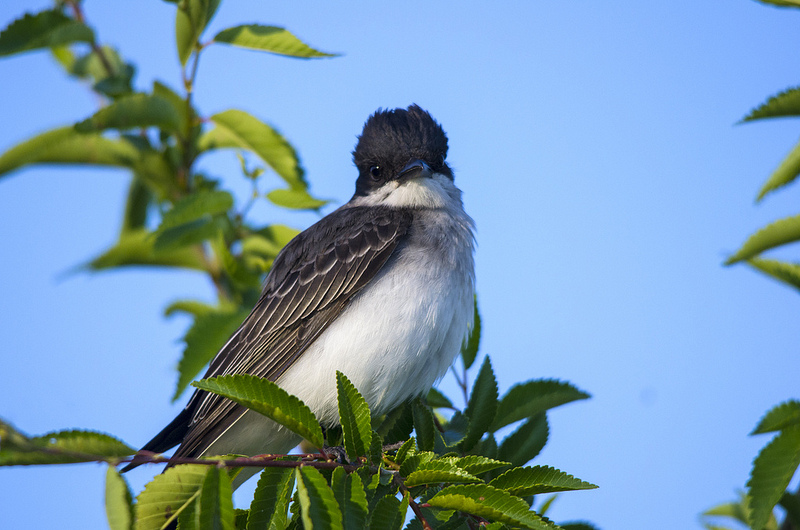This Eastern Kingbird decided to come investigate what I was doing sitting down by the lake shore.