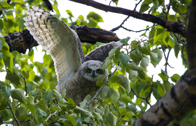 immature Great Horned Owl testing out the flight apparatus