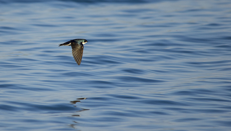 Tree Swallow hunting over the lake