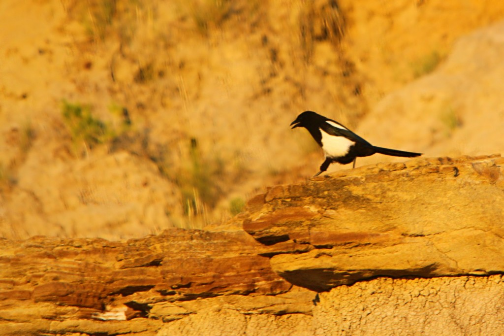 Black-billed Magpie at sunset