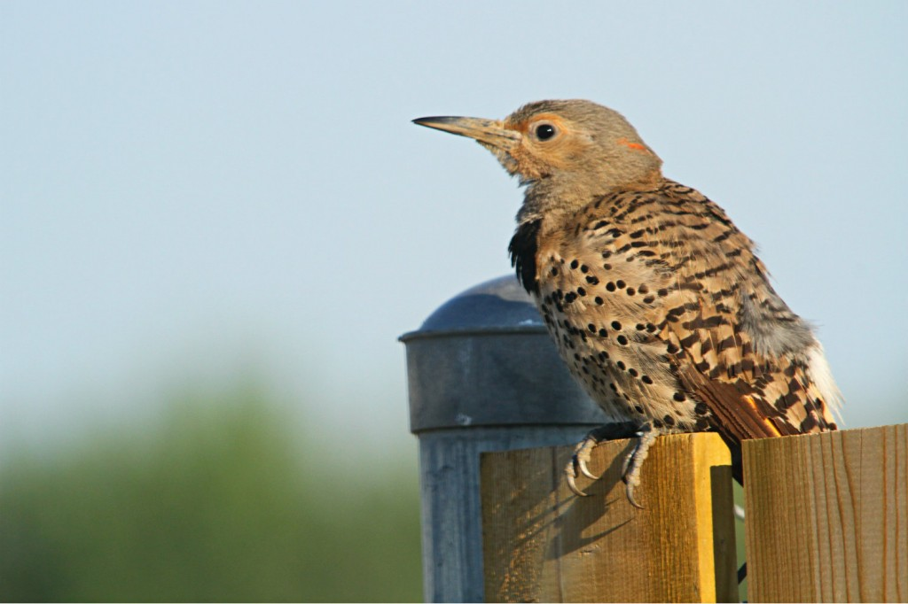 This Northern Flicker paused from preening to give me a cautious look