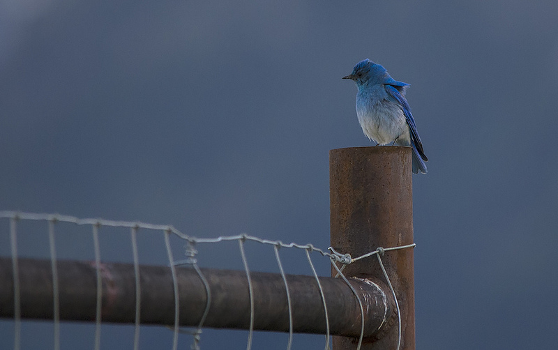 Mountain Bluebird Pentax K-5 + Sigma 150-500@500mm 1/640sec., ƒ/6.3, ISO 1600