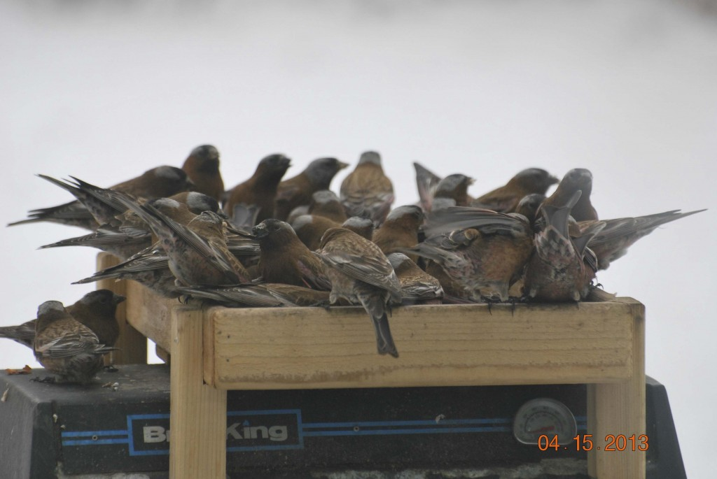Gray-crowned Rosy Finch Butts