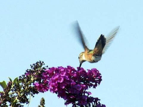 Rufous Hummingbird Butt