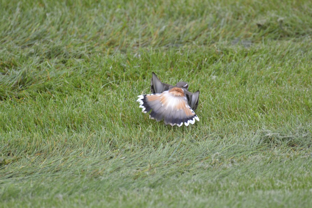 Killdeer Butt