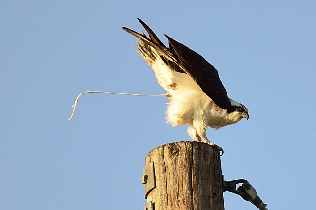 Osprey Butt in action