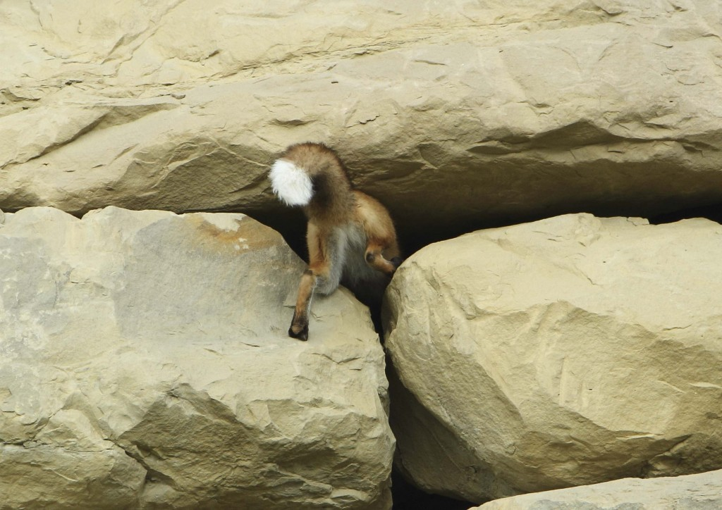 Red Fox Butt