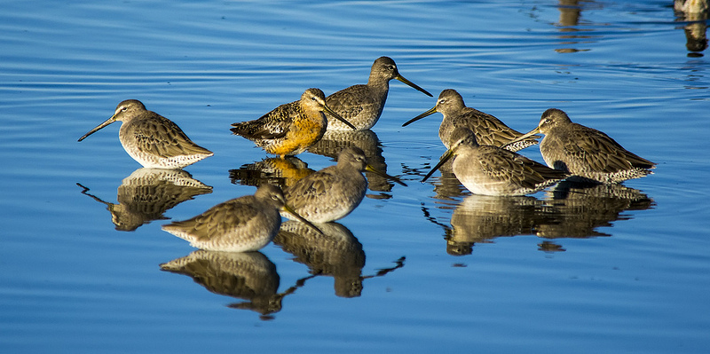 Long-billed Dowitchers Frank Lake - September 12, 2013 Pentax K-5 + Sigma 150-500 + Tamron 1.4x Teleconverter 1/1000sec., ƒ/6.3, ISO 400