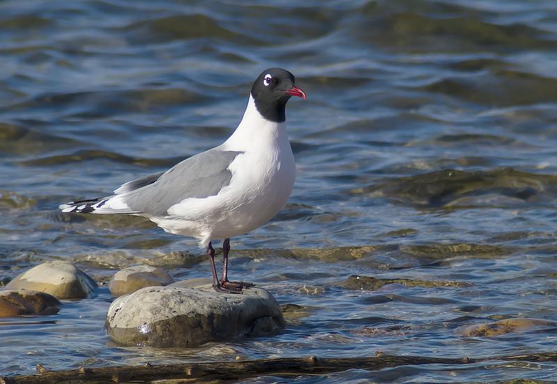 Swarovski - Franklin's Gull