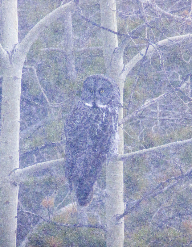Great Gray Owl on Grand Valley Road - April 20, 2013 Pentax K-30 + Swarovski ATX-85@60x magnification 1/320sec., f/22, ISO 400