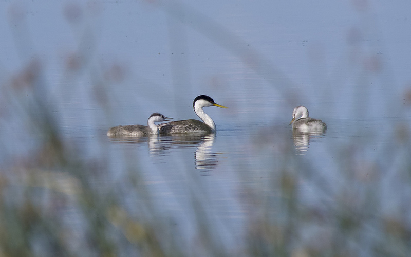 Western Grebe and young Pentax K-5 + Sigma 150-500@500mm 1/1250sec., ƒ/8.0, ISO 640