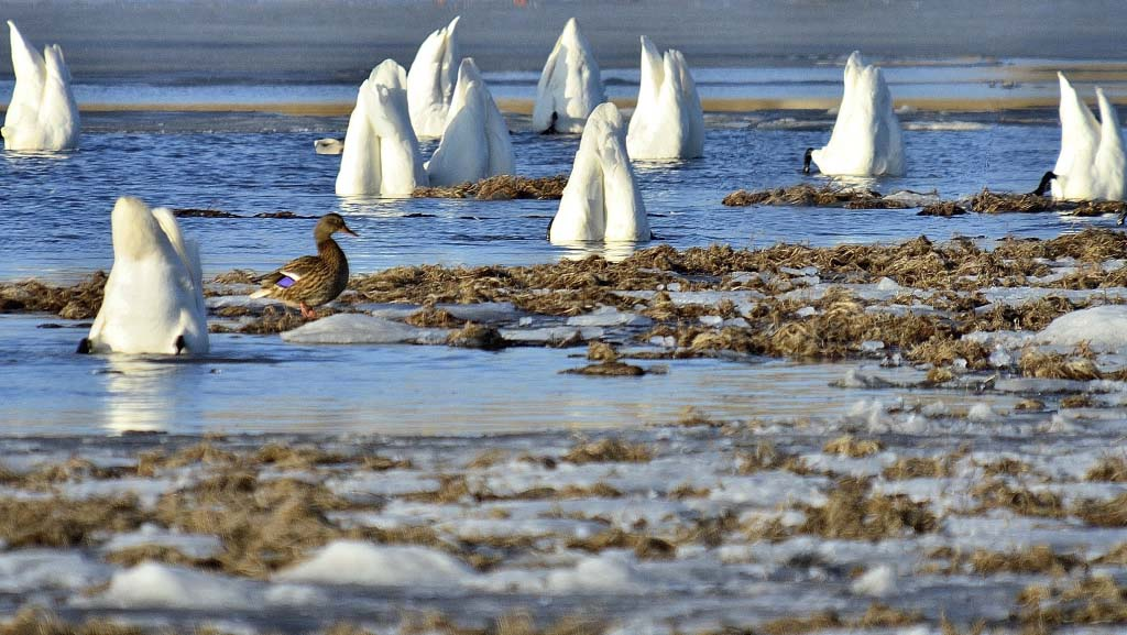 Swans at Jumpingpound Creek Sloughs - April 9, 2012 - Photo by Michael Pott