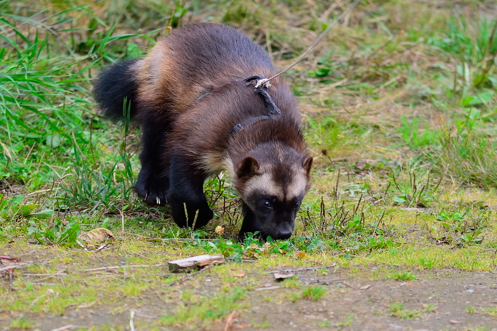 Wolverine - Alaska - August 2013 Photo by Michael Pott