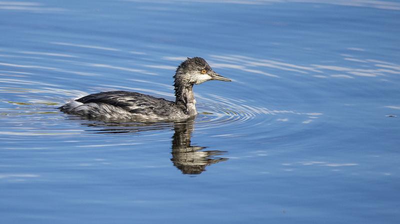Eared Grebe in non-breeding plumage