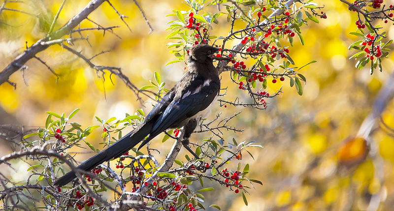 This photo shows the damaged bill a bit better Black-billed Magpie Pentax K-5 + Sigma 150-500@500mm 1/800sec., ƒ/6.3, ISO 1600