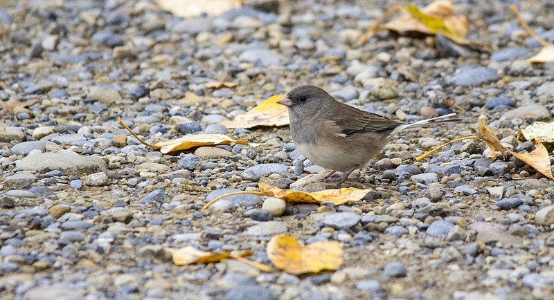 Dark-eyed Junco - October 10, 2013 Pentax K-5 + Sigma 150-500@500mm 1/640sec., ƒ/6.3, ISO 1250