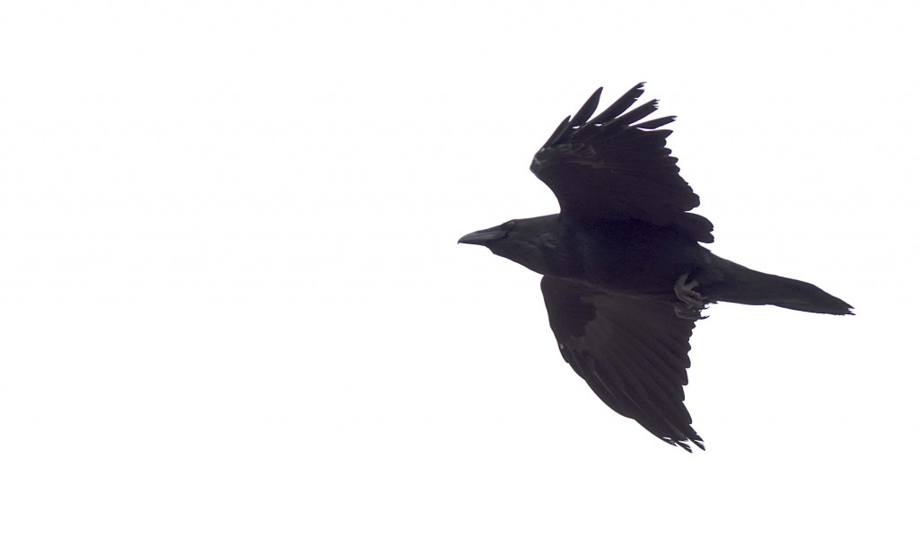 Common Raven Pentax K-5 + Sigma 150-500@500mm 1/640sec., ƒ/6.3, ISO 320