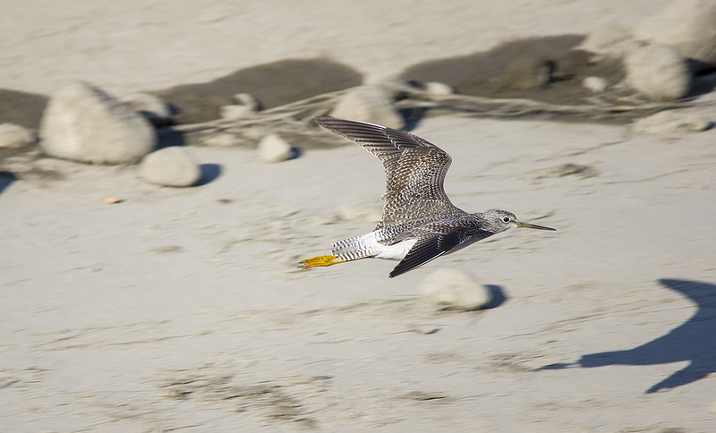 Greater Yellowlegs Pentax K-5 + Sigma 150-500@500mm 1/640sec., ƒ/6.3, ISO 250