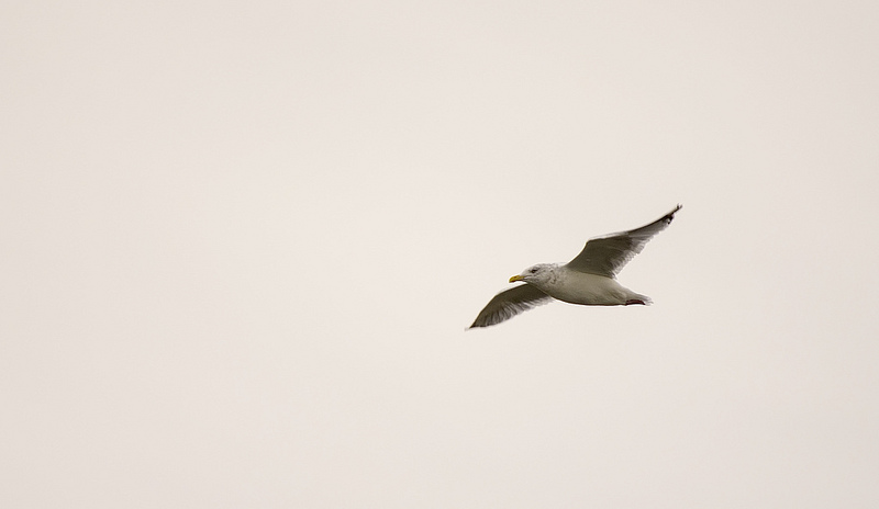 Herring Gull Pentax K-5 + Sigma 150-500@500mm 1/500sec., ƒ/6.3, ISO 320