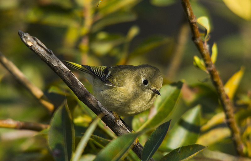 Ruby-crowned Kinglet Pentax K-5 + Sigma 150-500@500mm 1/500sec., ƒ/8, ISO 800