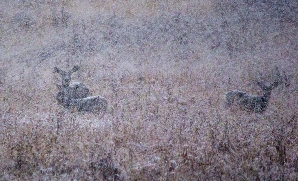 A trio of Mule Deer in the distance Pentax K-5 + Sigma 150-500@500mm 1/640sec., ƒ/6.3, ISO 1600