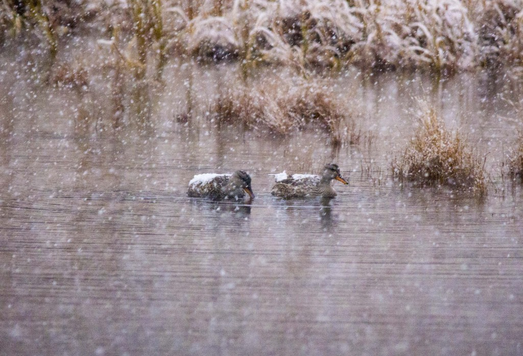 A pair of Gadwall in the heavy snow Pentax K-5 + Sigma 150-500@500mm 1/320sec., ƒ/6.3, ISO 1600