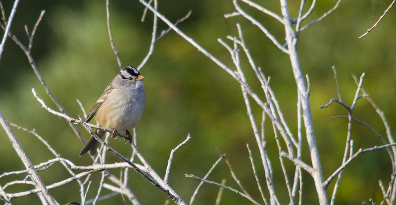 White-crowned Sparrow - September 15, 2012 Pentax K-5 + Sigma 150-500@500mm 1/500sec., ƒ/8, ISO 800