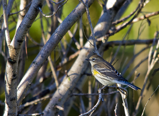Yellow-rumped Warbler - September 11, 2011 Pentax K-5 + Sigma 150-500@500mm 1/250sec., ƒ/8, ISO 1250