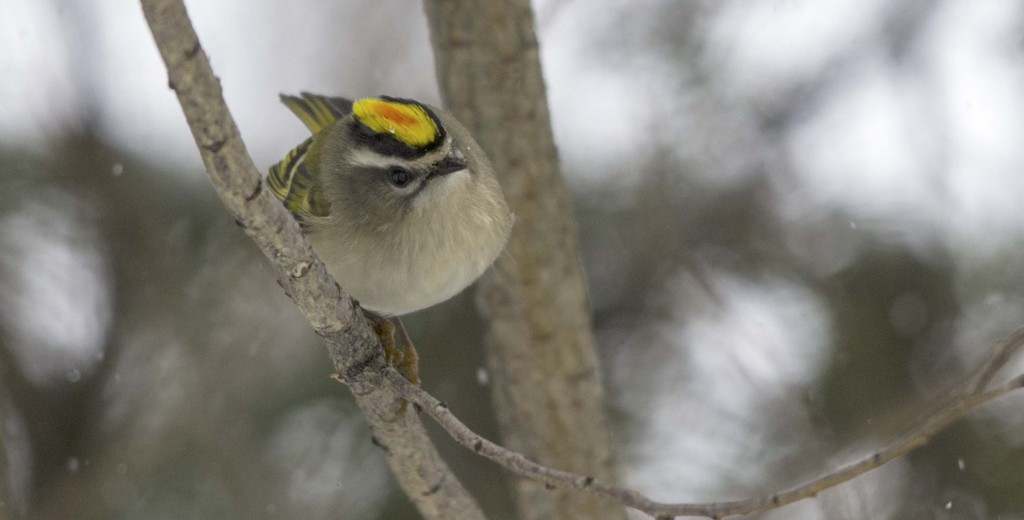Golden-crowned Kinglet Pentax K-5 + Sigma 150-500@500mm 1/500sec., ƒ/6.3, ISO 1600