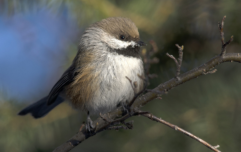 Boreal Chickadee found on the Canmore Christmas Bird Count, 2012