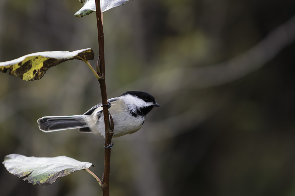 Fish Creek Chickadee 2
