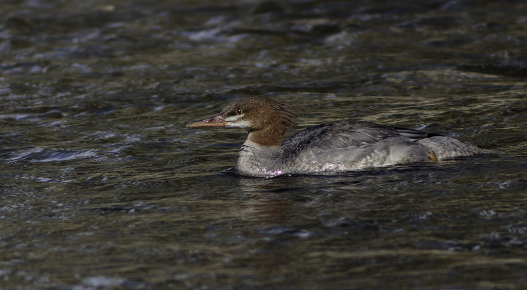 Fish Creek Merganser 1