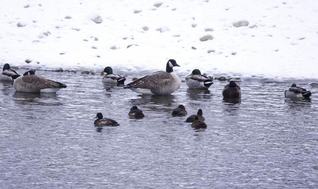 Lesser Scaup, Canada Goose and Mallards Pentax K-5 + Sigma 150-500@500mm 1/640sec., ƒ/6.3, ISO 400