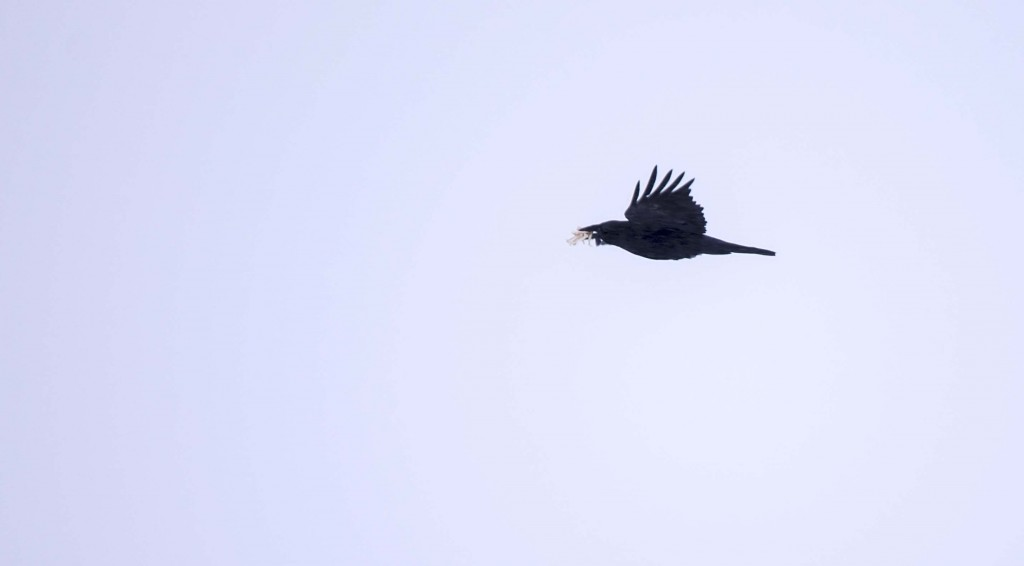 Common Raven Pentax K-5 + Sigma 150-500@500mm 1/640sec., ƒ/6.3, ISO 200