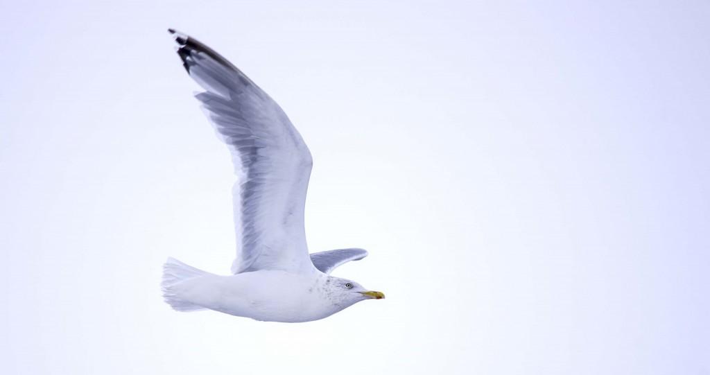 Herring Gull Pentax K-5 + Sigma 150-500@500mm 1/800sec., ƒ/6.3, ISO 1600