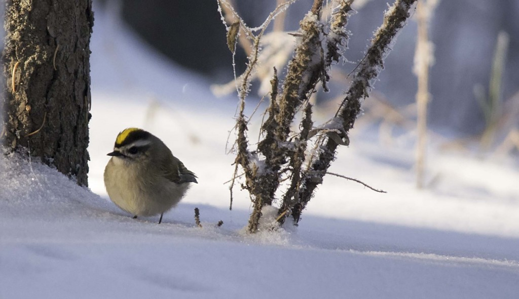 Golden-crowned Kinglet Pentax K-5 + Sigma 150-500@500mm 1/400sec., ƒ/6.3, ISO 1000