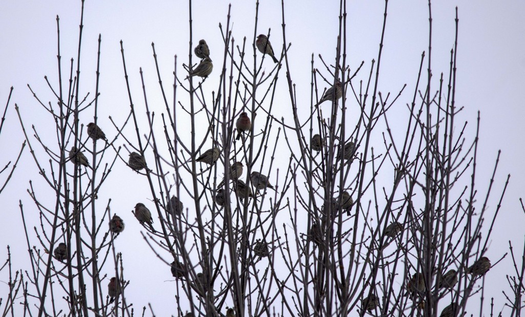 House Finches Pentax K-5 + Sigma 150-500@500mm 1/640sec., ƒ/6.3, ISO 400
