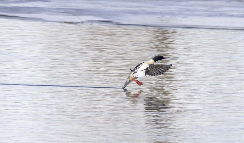 male Common Merganser putting on the brakes Pentax K-5 + Sigma 150-500@500mm 1/640sec., ƒ/6.3, ISO 500