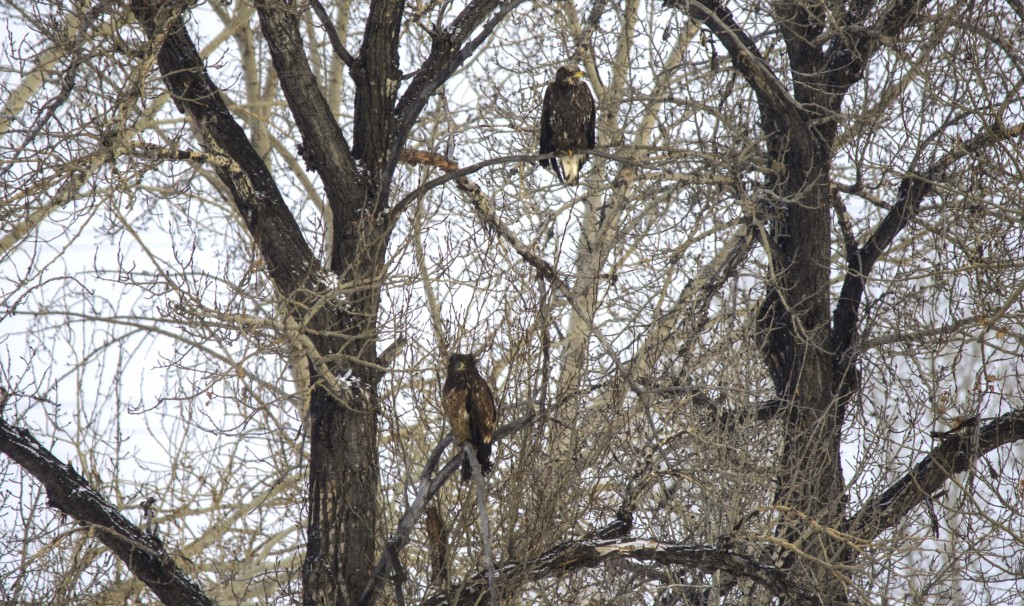 Hekyll and Jekyll (immature Bald Eagles) Pentax K-5 + Sigma 150-500@500mm 1/400sec., ƒ/6.3, ISO 640