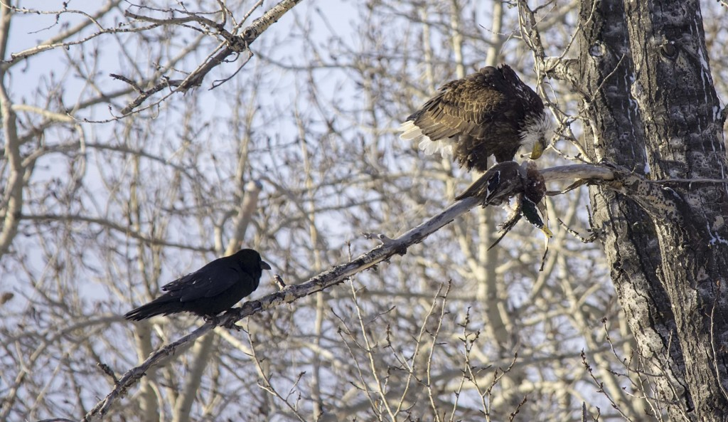 subadult Bald Eagle with Mallard for brunch (plus a harassing Common Raven) Pentax K-5 + Sigma 150-500@500mm 1/1000sec., ƒ/6.3, ISO 800
