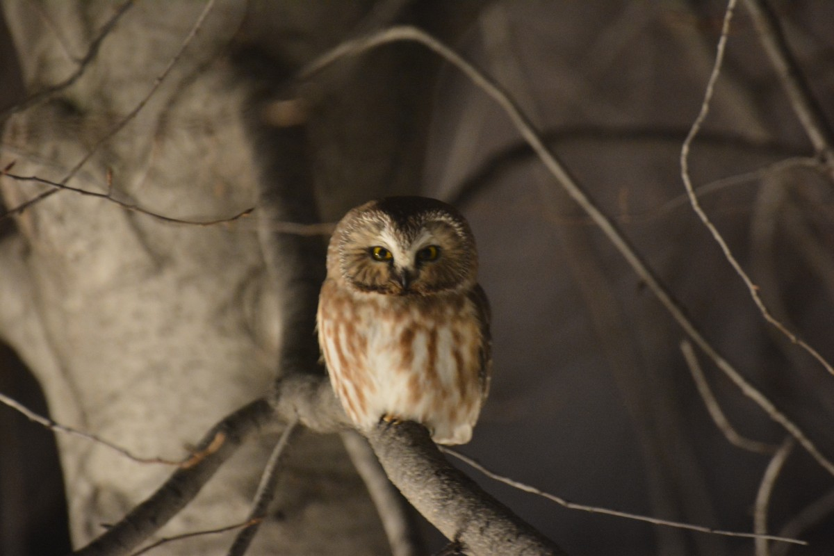 Saw-whet Owl in Parkside